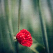 Bright red poppy blossom at the edge of a barley field - textured photograph