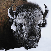 Portrait of a large bull Bison (Bison bison) in Yellowstone National Park, Wyoming.