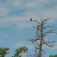 A Bald Eagle (Haliaeetus leucocephalus) perches in a dead white pine by Lake of the Woods, Ontario, Canada.
