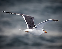 Great Black-backed Gull (Larus marinus). Viewed from the deck of the MV Explorer. North Sea. Image taken with a Nikon D4 camera and 80-400 mm VR lens.
