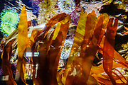 Seaweed reaches to the undersurface of brightly reflecting water rippling in a colorful sealife tank at Oregon Coast Aquarium, Newport, Oregon, USA.