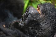 Close-up of a silver backed mountain gorilla (Gorilla beringei beringei) snoring while taking a nap, Volcanoes National Park, Rwanda