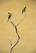 Military Macaws<br />Ara militaris militaris<br />Pongo. Lower Urubamba River<br />Amazon,  PERU.  South America.<br />Range: Mexico to Argentina