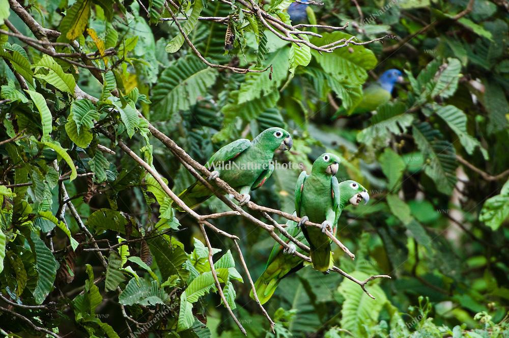 Mealy Amazon, Amazona farinosa, in flight. Parrot Lick, Napo Wildlife Center,