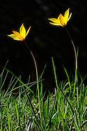 France, Languedoc Roussillon, Lozère (48), Cevennes, fleur de Tulipe méridionale, tulipe de Ceste, N.L.: Tulipa sylvestris , australis, (Liliacées)