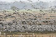 Israel, Hula Valley, a flock of Eurasian Cranes.
