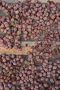 Freshly picked Zibibbo grapes are laid on ventilated mats for drying on the island of Pantelleria, which is off the coast of Sicily, Italy.
