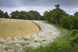 Ox eye daisies growing around the edge of a field. Moon daisy, Field daisy. Leucanthemum vulgare syn. Chrysanthemum leucanthemum