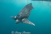 a leatherback sea turtle, Dermochelys coriacea, restrained by two harpoon lines bleeds after being clubbed over the head by traditional subsistence hunters; Kei ( or Kai ) Islands, Moluccas, eastern Indonesia, Banda Sea, Southwest Pacific Ocean