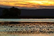 Birds in Lower Klamath Lake, Lower Klamath National Wildlife Refuge, California