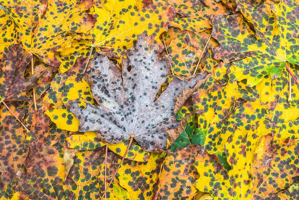 Bigleaf maple leaves (Acer macrophyllum), autumn, Clallam County, Olympic Peninsula, WA, USA