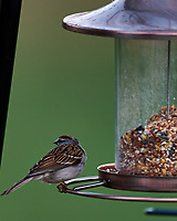 Chipping Sparrow Looking Away. Image taken with a Nikon D4 camera and 600 mm f/4 VR lens (ISO 800, 600 mm, f/4, 1/200 sec)
