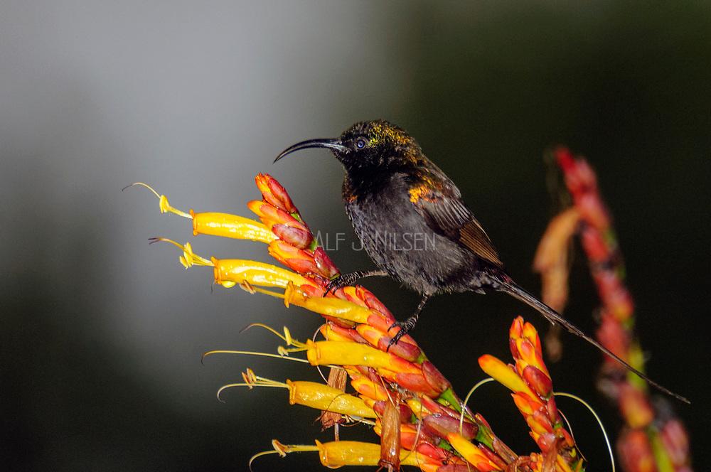 Bronze sunbird (Nectarinia kilimensis, male) from Queen Elisabeth NP, Uganda.