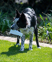 Digby the mask obsessed border collie from oxfordshire  proves he is smarter than some people buy always taking his mask out with him when he goes out to play or to the shops