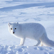 Arctic Fox (Alopex lagopus) Churchill, Manitoba. Canada. Winter.