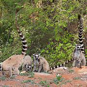 Ring-tailed lemur group feeding on ground plants. Berenty Reserve, Madagascar