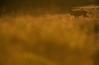 Red Deer (Cervus elaphus) stag in evening light (c). Klampenborg Dyrehave, Denmark. Fenced reserve enclosure.