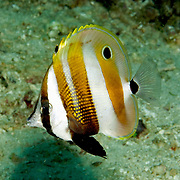 Orange Banded Coralfish inhabit reefs. Picture taken Raja Ampat, Indonesia.