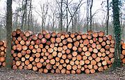 Nederland, Groesbeek, 4-3-2020 In de bossen rond Berg en Dal zijn veel bomen gekapt . Door de droogte van afgelopen jaren zijn veel naaldbomen, fijnsparren, aangetast door een insect, de letterzetter . Het is een kevertje wat zich door de boom vreet onder de schors waardoor deze afsterft omdat de sappen niet meer naar de takken kunnen stromen . Met harvesters, machines die de bomen in een keer kunnen zagen, onttakken en in stukken verdelen is de kap uitgevoerd. De versnipperde boomstammen worden opgestookt als biomassa, of er worden pallets voor transport van gemaakt.  .Niet het bastkevertje, maar het klimaat nekt de fijnspar.Foto: Flip Franssen