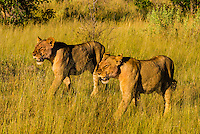 Female lions walking in the bush, Linyanti Marshes, Botswana.