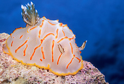 This colorful nudibranch, Halgerda bacalusia, was discovered by the photographer on the same dive as his namesake, H. stricklandi. Andaman Sea