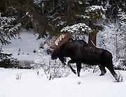 A Shiras moose walks through the Colorado snow.