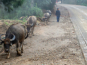 Water Buffalo (Bubalus bubalis) and farmer in rural Yuanyang, Yunnan, China