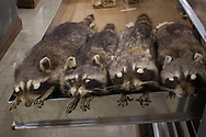 Study skins at Tulane University's Natural History Museum in Belle Chase