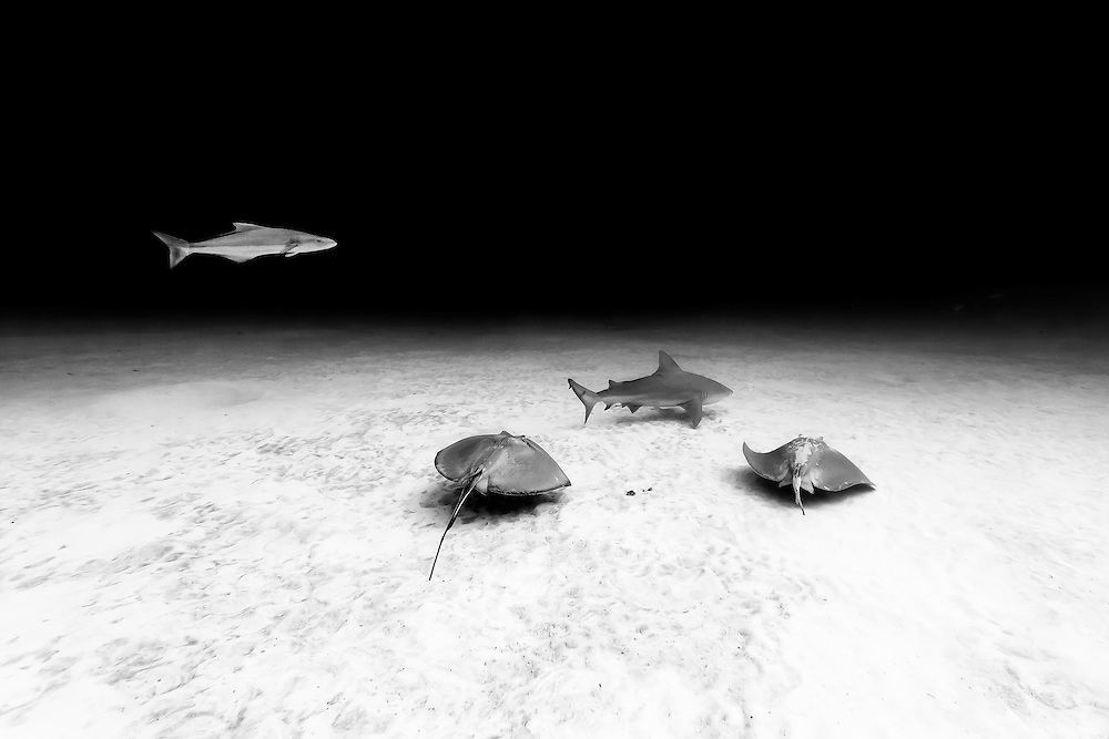 México, Quintana Roo, Playa del Carmen. A bull shark, two southern stingrays and a cobia swimming some 60 ft deep in a sandy bottom.