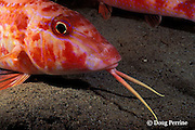 spotted goatfish or red goatfish, Pseudupeneus maculatus, using barbels to probe for food in sand, at night, Commonwealth of Dominica ( Western Caribbean Sea )