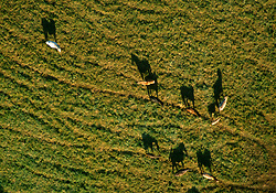 GERMANY SCHLESWIG-HOLSTEIN KIEL 9JUN02 - View on a field with horses from above. The balloon is capable of flying safely at altitudes of up to 3000 feet...jre/Photo by Jiri Rezac..© Jiri Rezac 2002..Contact: +44 (0) 7050 110 417..Mobile:  +44 (0) 7801 337 683.Office:  +44 (0) 20 8968 9635..Email:   jiri@jirirezac.com.Web:     www.jirirezac.com