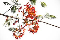 Royal Poinciana Tree Delonix Regia #4