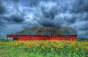Sunflowers on a Rainy Day