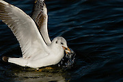 Israel, Coastal Plains, Slender-billed Gull, (Larus genei) with a caught fish in it'it's beak
