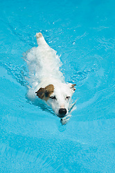 White and brown jack russell swimming in a blue pool