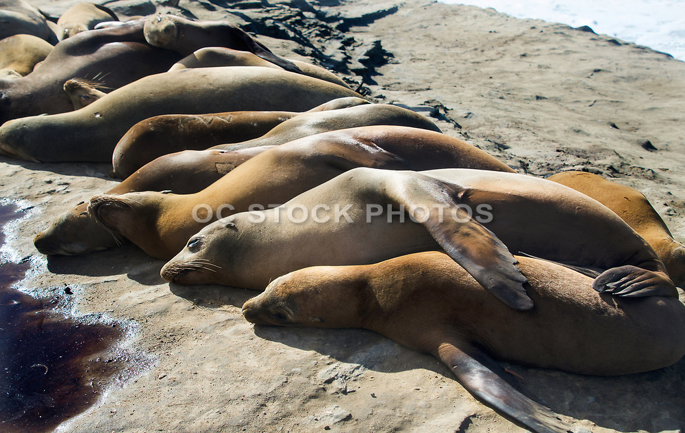 Sea Lions Resting in the Sun