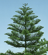 Norfolk Island Pine Araucaria heterophylla (Araucariaceae) HEIGHT to 15m. Palm-like evergreen. BARK Becoming scaly. BRANCHES Grow up full extent of trunk; horizontal but with upswept shoots. LEAVES Scaly, on young plants open and spreading, showing the shoot they are growing on; older trees have closely packed incurved leaves that hide the shoot. REPRODUCTIVE PARTS Trees are either male or female, and it is not possible to determine which is which until they flower, which seldom happens in Britain. STATUS AND DISTRIBUTION Native to Norfolk Island (north of New Zealand). Thrives out of doors only in the extreme SW of Britain.