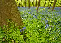 Ferns and bluebells Hyacinthoides non-scripta in Hallerbos forest, Belgium