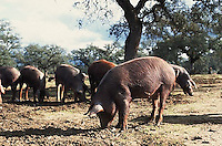 November 1995, Andalucia, Spain --- Pigs Grazing for Food --- Image by © Owen Franken/CORBIS