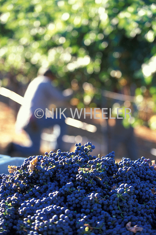 newly picked grapes at harvest in vineyard in Napa Valley, Northern California, United States