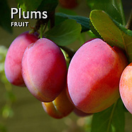 Plums & Greengages   Pictures Photos Images & Fotos