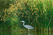 Great blue heron (Ardea herodias)  in man-made pond. Southdale<br />