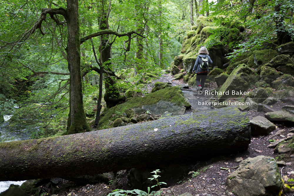 A walker and a fallen tree across the path known as the Torrent Walk along the (River) Afon Clwedog, on 13th September 2018, in Dolgellau, Gwynedd, Wales.