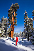 Skier under Giant Sequoias at Circle Meadow, Sequoia National Park, California USA