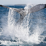 This is a humpback whale (Megaptera novaeangliae) demonstrating the tremendous power of its fluke and caudal musculature. The whale has just lifted its fluke out of the water prior to whipping it back to hit the ocean. This produces a loud percussive sound that reveberates through both air and water.