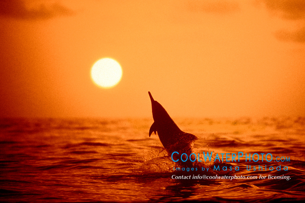 Long-snouted Spinner Dolphin, leaping at sunset, Stenella longirostris, off Kona Coast, Big Island, Hawaii, Pacific Ocean (pc)