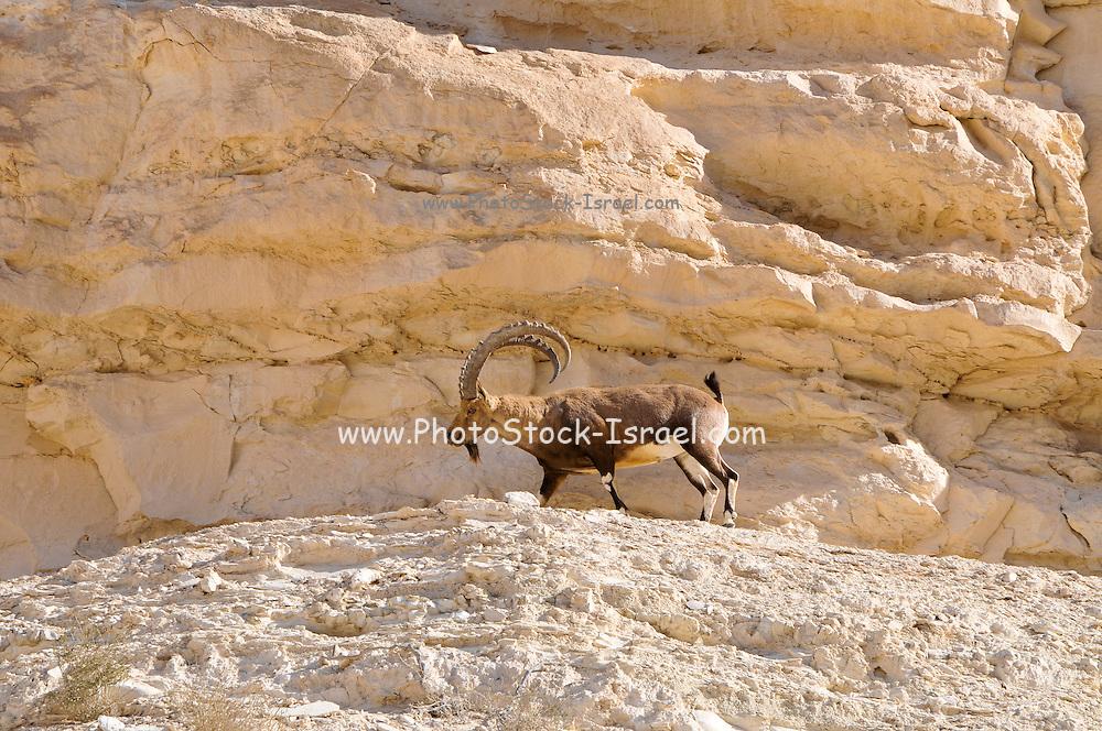 Male with female Nubian Ibex (Capra ibex nubiana AKA Capra nubiana) close up of a large mature male. Israel, Negev, Outskirts of Kibbutz Sde Boker