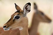 Portrait of an impala calf,  Aepyceros melampus.