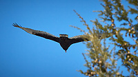 Turkey Vulture. Image taken with a Nikon D2xs camera and 80-400 mm VR lens (ISO 400, 400 mm, f/14, 1/500 sec).