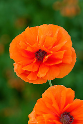 Papaver 'May Queen'. Oriental poppy